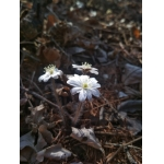 Hepatica nobilis v.asiatica,North Chinese form SEEDS×10