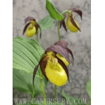 Cypripedium calceolus var.asiaticum