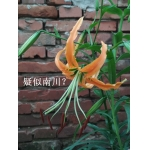 Lilium rosthornii x 20 seeds. wild collected